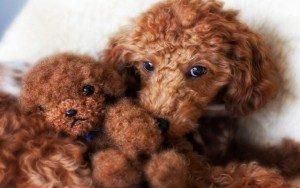 cachorro-de-caniche-2-peluche