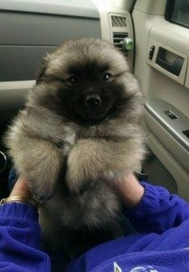 cachorro-de-keeshond-y-american-eskimo-peluche