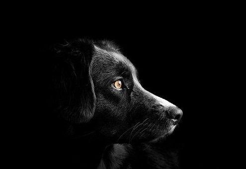 coronavirus, perros