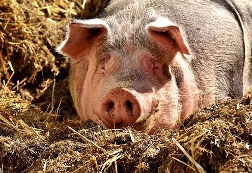 Porc, Girona