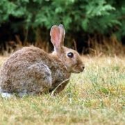 Conejo, caza