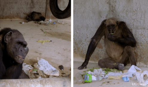 Chimpancés, rescate