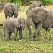 Elefantes, muerte