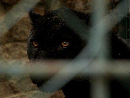 Pantera negra en Granada
