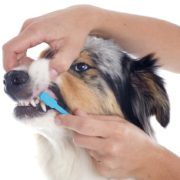 Es necessari raspallar les dents dels gossos?