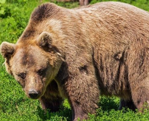 El oso pardo
