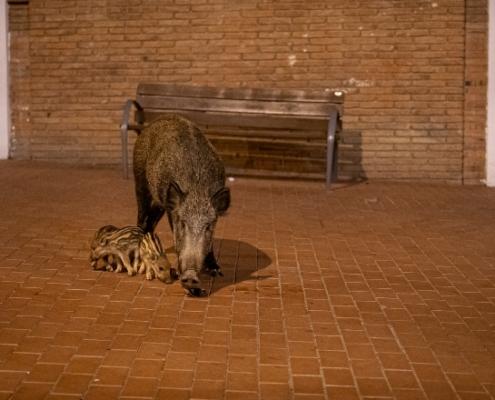 Senglars als entorns urbans de Barcelona